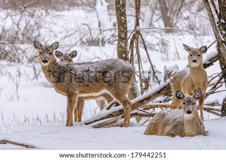 A group of whitetail deer in the winter snow. - stock photo