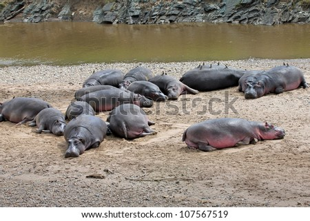 A Group of WILD Hippopotami (including a small baby!) in the Masai Mara, Kenya, Africa - stock photo
