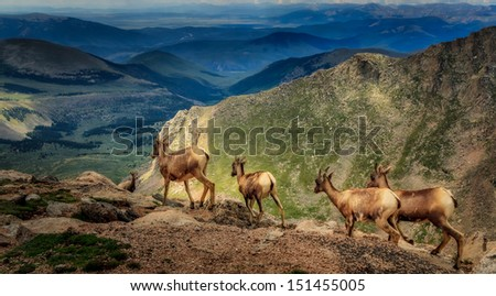 A group of wild mountain goats racing down the cliff in rocky mountains - stock photo