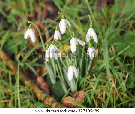 A Group of Wild Snowdrops (Galanthus) in a Woodland Setting at Newlane in Devon, England, UK - stock photo