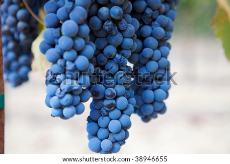 A Group of Wine Grapes At A - stock photo