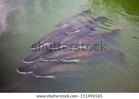 A group of young arapaima, largest freshwater fish in the world and living fossil, an increasingly rare species of South American freshwater fish - stock photo