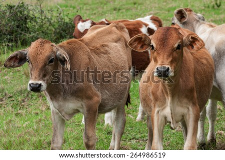 a group of young cattle calves standing in a grassy field looking curiously - stock photo
