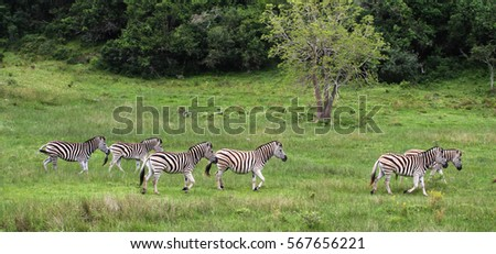 A group of zebras at the African Dawn Wildlife Sanctuary, South Africa