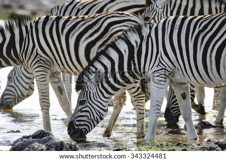 A group of zebras drink from a waterhole - stock photo