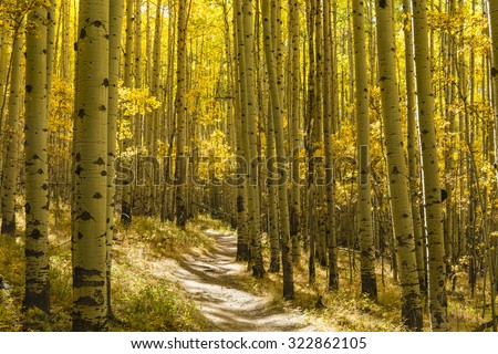 A grove of Aspen trees in full Autumn color on the Colorado Trail in Kenosha Pass, Colorado. - stock photo