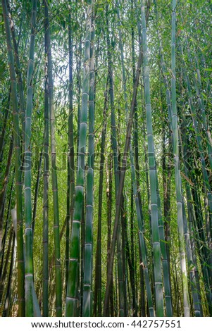 A grove of bamboo trees - stock photo