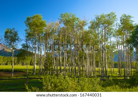 A grove of green aspens shines in the sun of summer morning. - stock photo