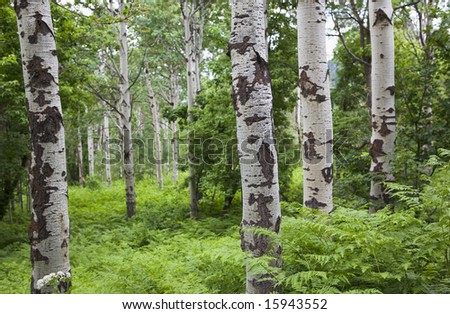 A grove of quaking aspens tree trunks close-up among dense plant growth - stock photo