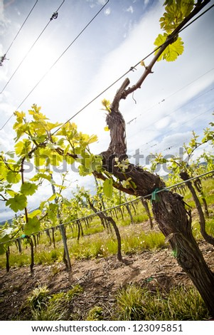 A growing wine rank in the Elzas region, France - stock photo