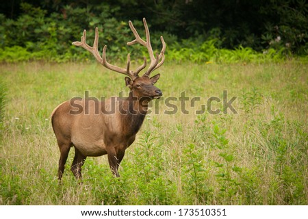 A grown male buck standing in the grass on a summer day in the Great Smoky Mountains National Park. - stock photo