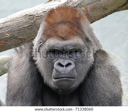 A grumpy gorilla - stock photo