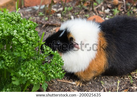 A guinea pig is eating parsley/guinea pig/pet