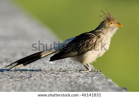 A Guira Cuckoo perched on a wall - Buenos Aires. - stock photo