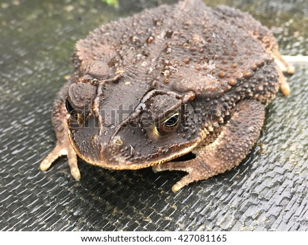 A gulf coast toad, bufo genus, sitting on the ground.
