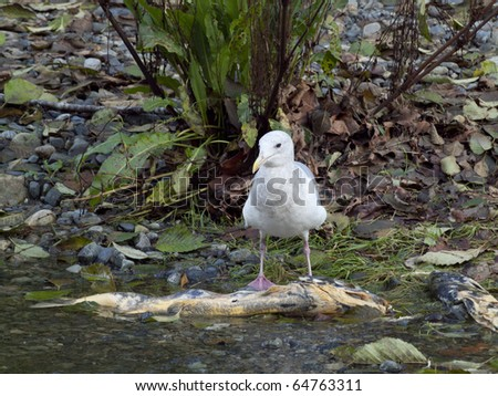 A gull feasting on a dead salmon during spawning season - stock photo