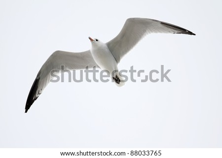 A gull of the endangered species of Audouin's Gull (Larus audouinii) flying - stock photo