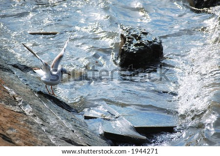 A gull waiting the wave-Belgrade,Serbia - stock photo