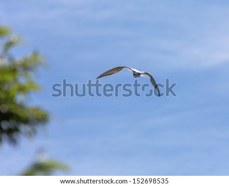 A gulls on the lake Dvukhyurtochnoe - Kamchatka, Russia