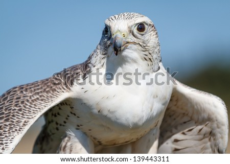 A gyrfalcon flexing her wings after eating her prey. Bird of prey. - stock photo