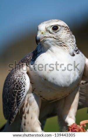 A gyrfalcon guarding her prey from other predators. Bird of prey. - stock photo