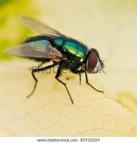 A hairy backed greenbottle fly sits on a yellowing leaf. - stock photo
