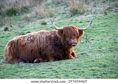 A Hairy Highland Cow Resting Peacefully in a Scottish Field. - stock photo