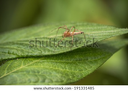 A hairy Legged spider on a leaf. Six eyes in photo, must be a total of eight.