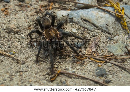 A hairy spider is covered with black ants - stock photo