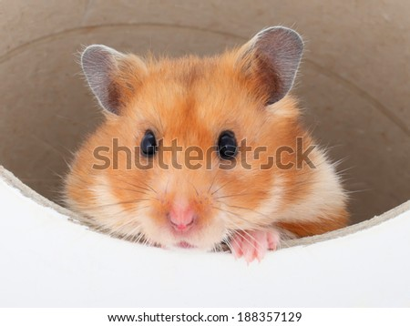 a Hamster looks out of a tube - stock photo