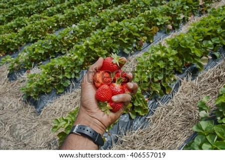 A hand holding  strawberries against a backdrop of rows of strawberry plants. - stock photo