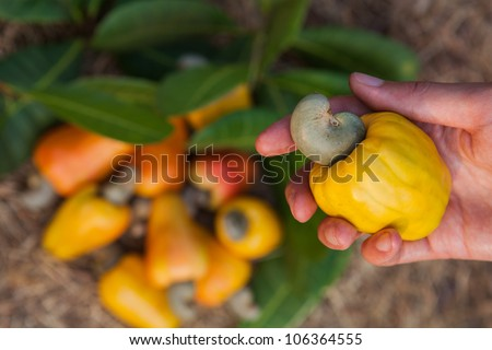 A hand with cashew apple