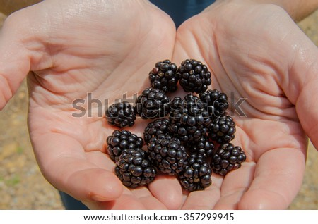 A handful of blackberries plucked from bushes along the Blue Ridge Parkway