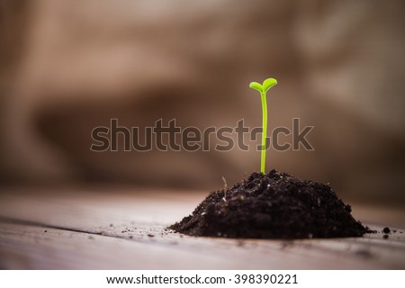 A handful of earth with a young green shoots tangerine tree on a wooden table. Sprouts citrus trees. Sprouting seeds. Empty space. Background. Earth Day. Spring. Summer. New life - stock photo