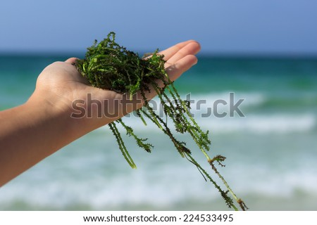 a handful of fresh seaweed against the sea background - stock photo