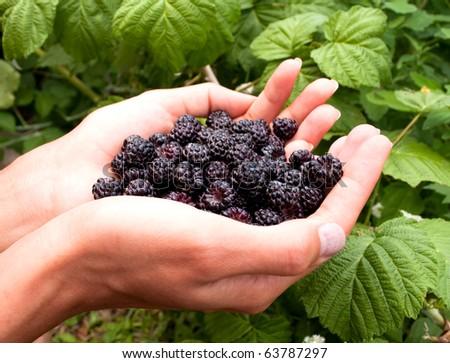 A handful of ripe blackberries in the women's hands - stock photo