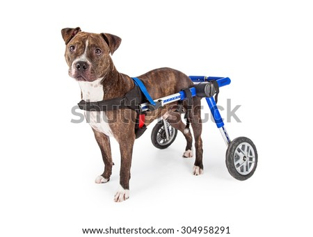 A handicapped Staffordshire Bull Terrier Dog in a wheelchair looking at the camera. - stock photo