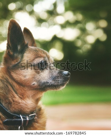 a handsome chihuahua mix senior dog with dark muted tones  - stock photo