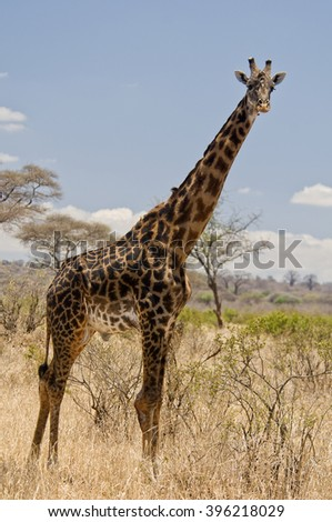 A handsome male giraffe sports an especially dark set of markings on his gorgeous coat in Lake Manyara National Park, Tanzania. - stock photo