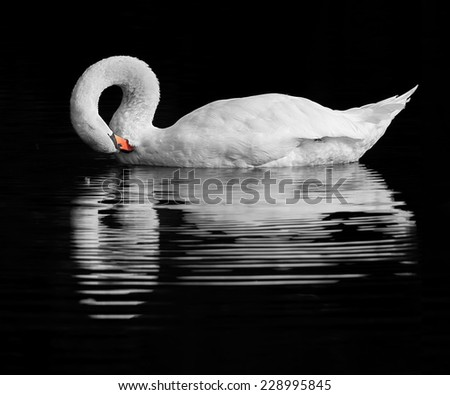 A handsome Swan preening on a tranquil lake. - stock photo