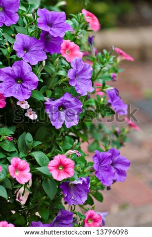 A hanging  basket of pink and purple petunias. - stock photo