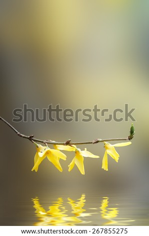A hanging Forsythia branch in full bloom with yellow flowers, reflected in rippling water below with soft focus  bokeh background. - stock photo