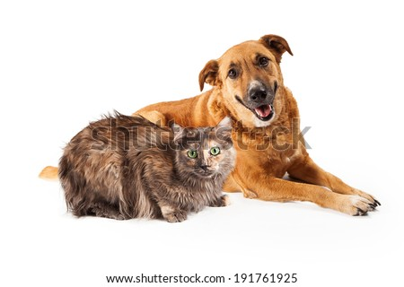 A happy adult large mixed breed golen color dog laying down with a smile on his face next to a pretty Persian cat - stock photo
