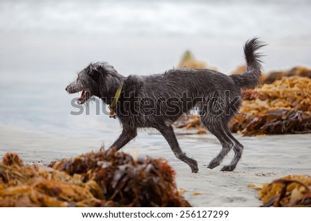 A happy and active scruffy crossbreed dog running on a beach at the ocean - stock photo