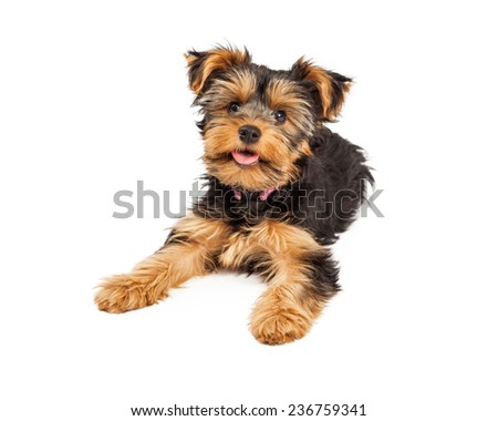 A happy and cute little Teacup Yorkie puppy dog laying  - stock photo
