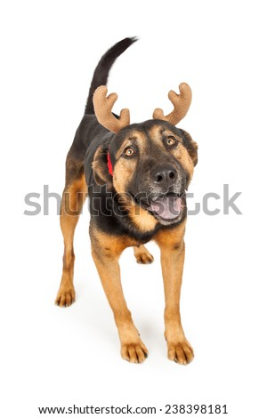 A happy and cute young Shepherd cross dog wearing Christmas reindeer antlers - stock photo