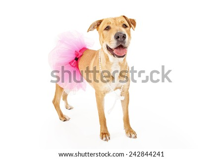 A happy and pretty Labrador Retriever dog wearing a pink tutu - stock photo