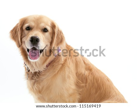 A happy dog on a white background. - stock photo