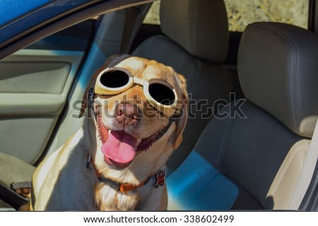 stock-photo-a-happy-dog-pilot-yellow-lab