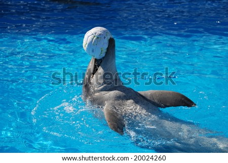 A happy dolphin swims backwards with ball